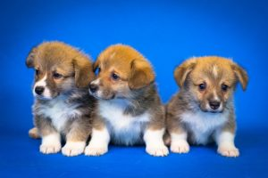 6 Important Things You'll Need to Know About Corgi Puppies