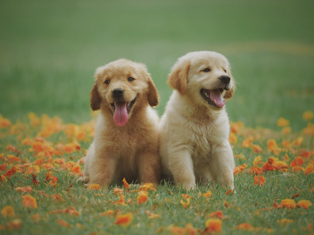 Golden Retriever Puppy: A Start Of Our Journey Together