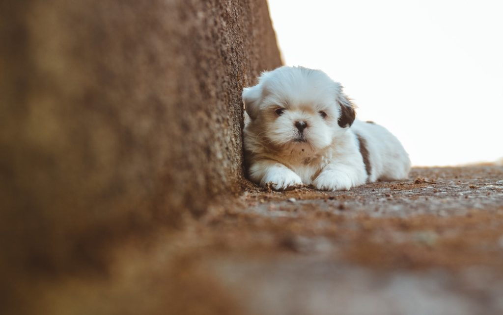 Shih Tzu Puppies: Small In Size yet Big at Heart
