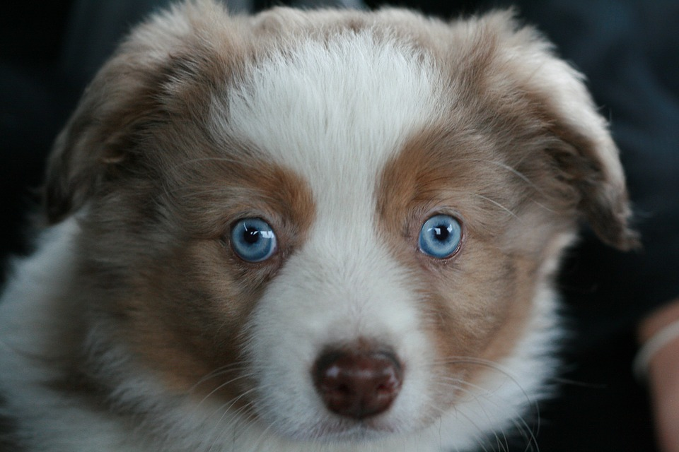 Australian Shepherd Puppy: The Hard-working Herding Dog