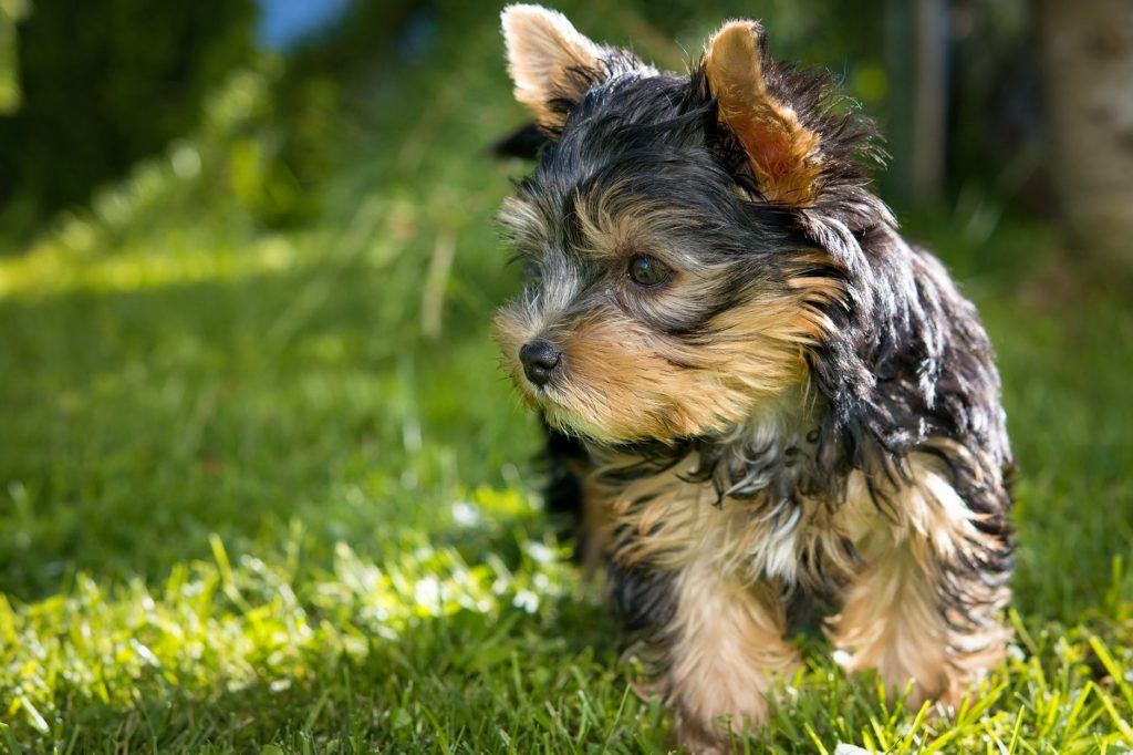Yorkshire Terriers: The Spotlight Buddy