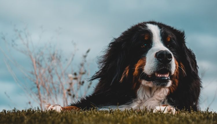 Bernese Mountain Dog The Swiss Working Dog Puppies Nation