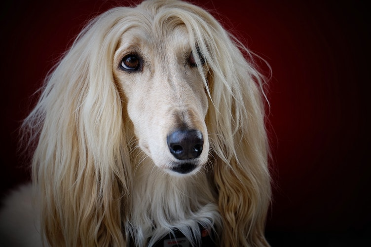Hypoallergenic Dog Breeds: Ideal Dog Breeds for Dog Lovers with Allergies