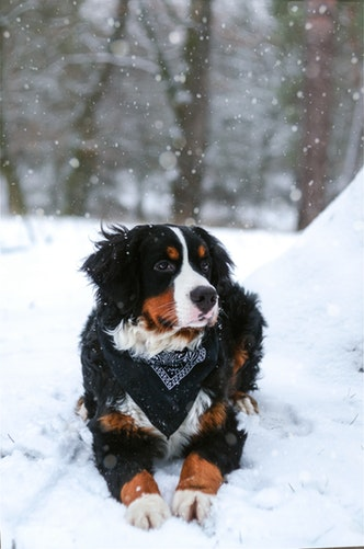 Bernese Mountain Dog: The Swiss Working Dog