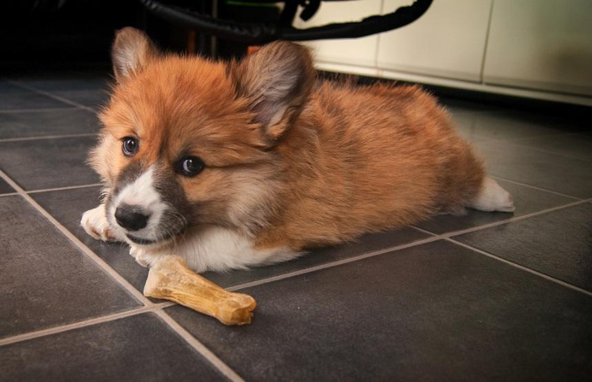 Corgi Puppies:  The English Royalties