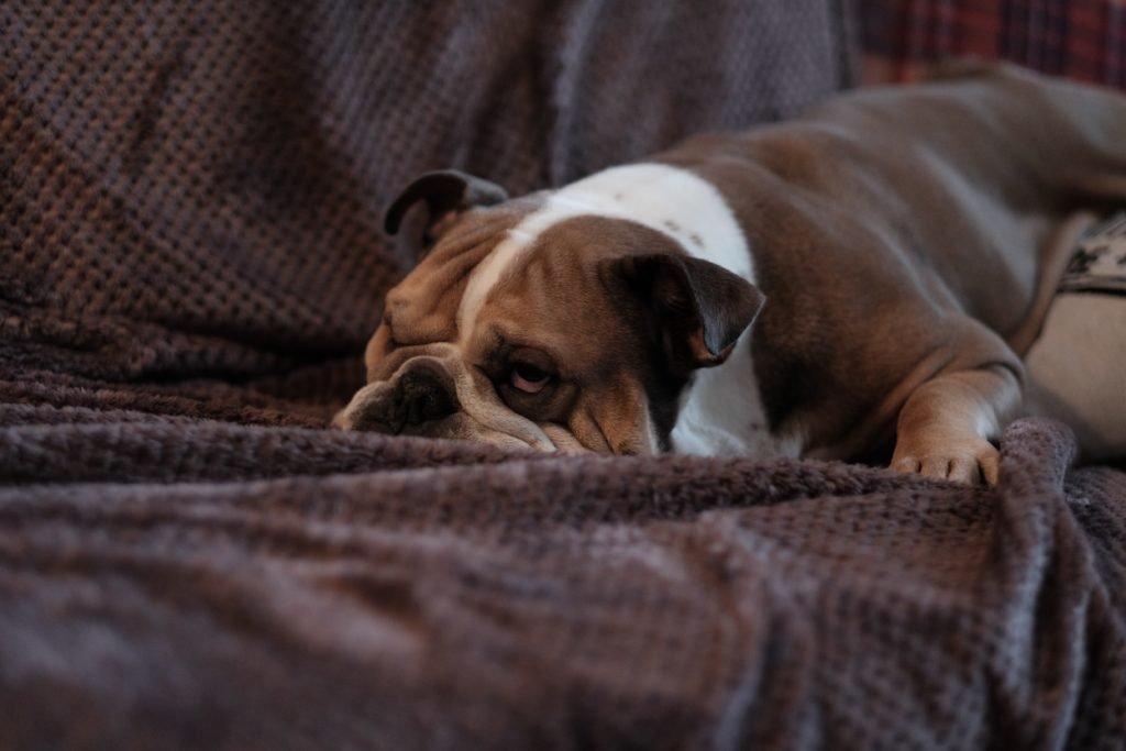 5 Tips For Effectively Train An English Bulldog