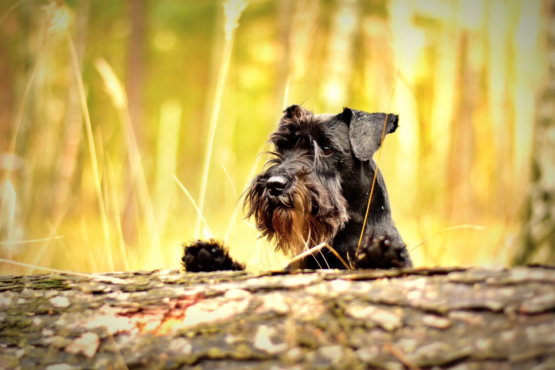 Do Miniature Schnauzer Make Good Pets?