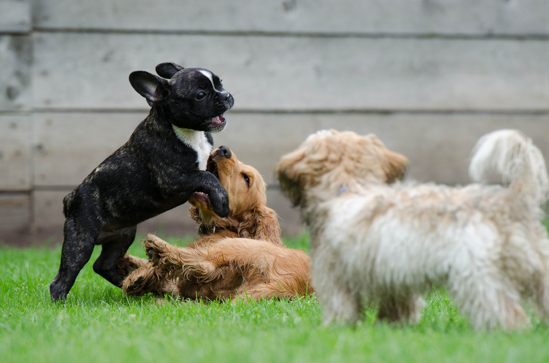 Puppies Playing In Garden