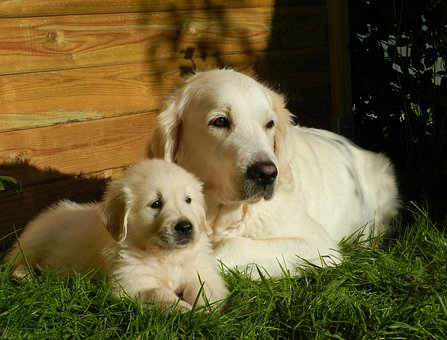 Golden Retriever's Pregnant: How Long
